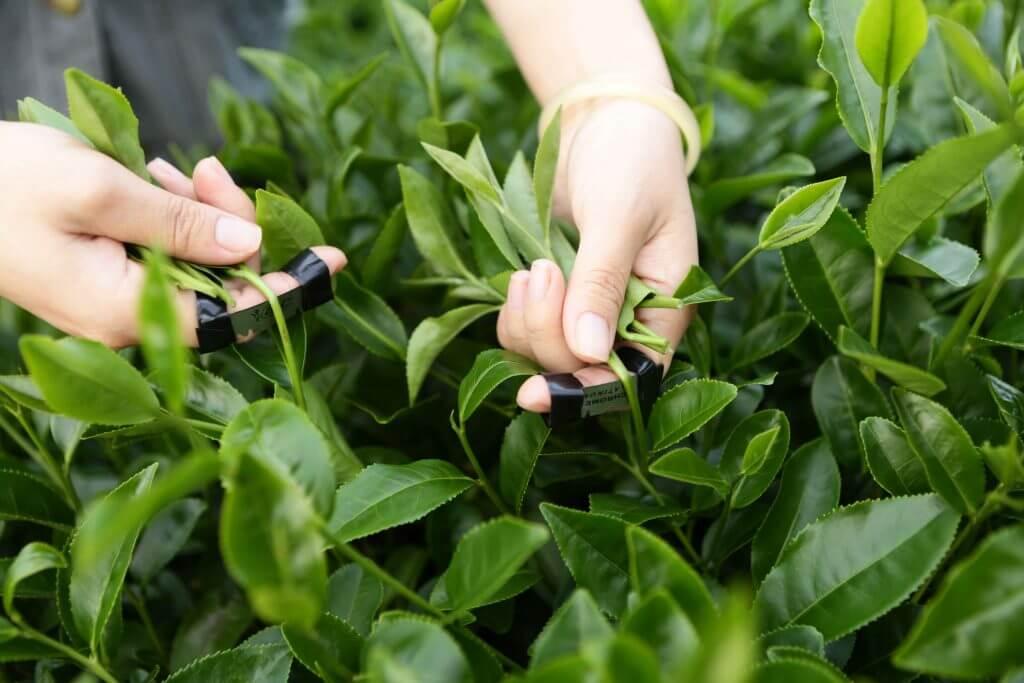 Kỹ thuật hái trà
